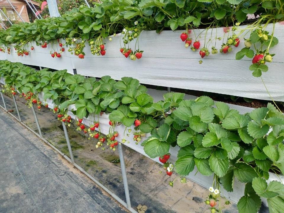 草莓結果照片。(記者陳笠洋翻攝)
