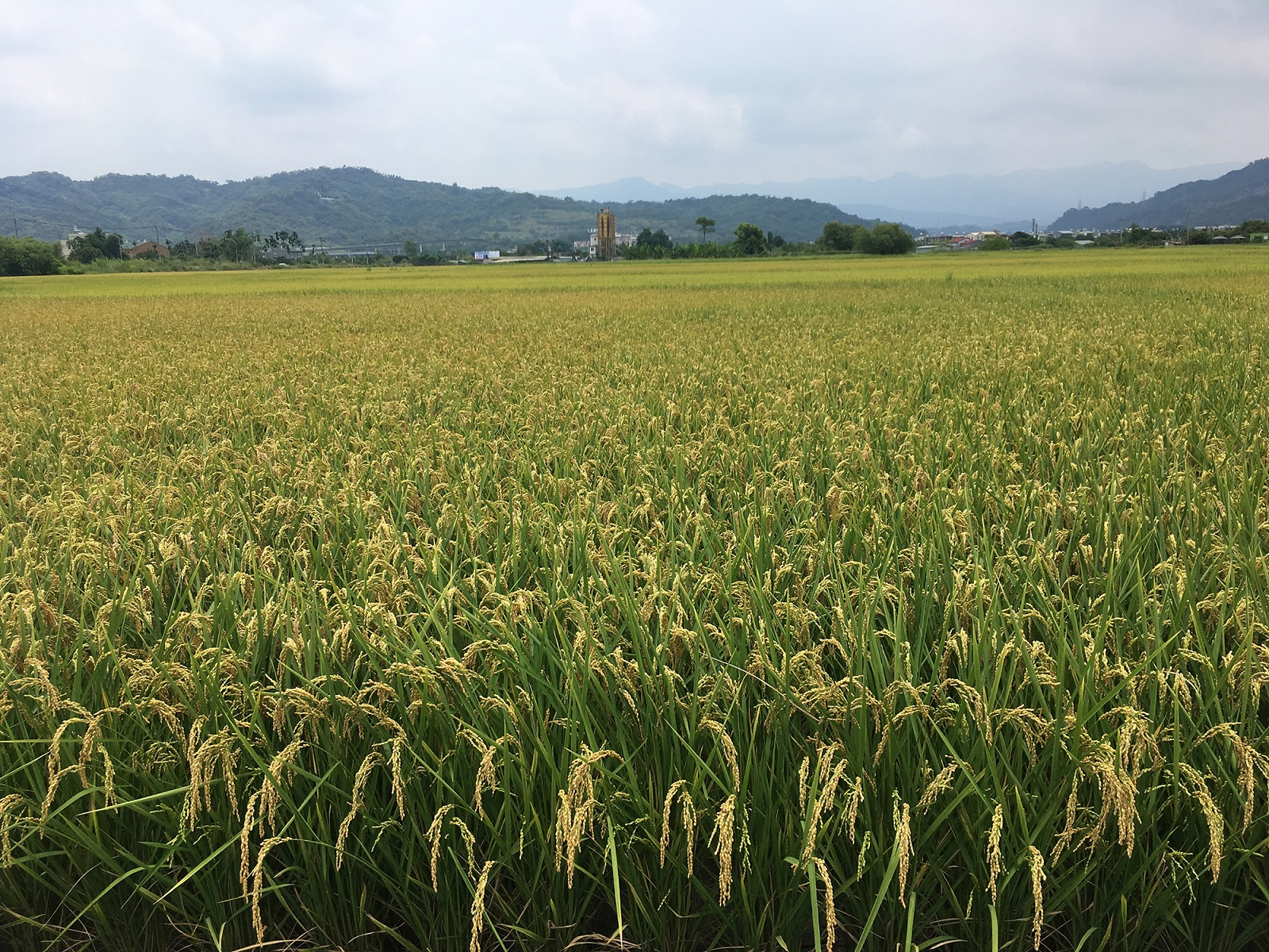 水稻成熟再收 好品質收益佳。(記者李煥勇翻攝)
