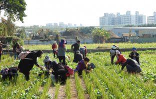 民眾採摘青菜-都市農夫體驗收成樂趣。(葉志雲攝)